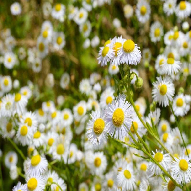 Tisane fleurs de camomille nature
