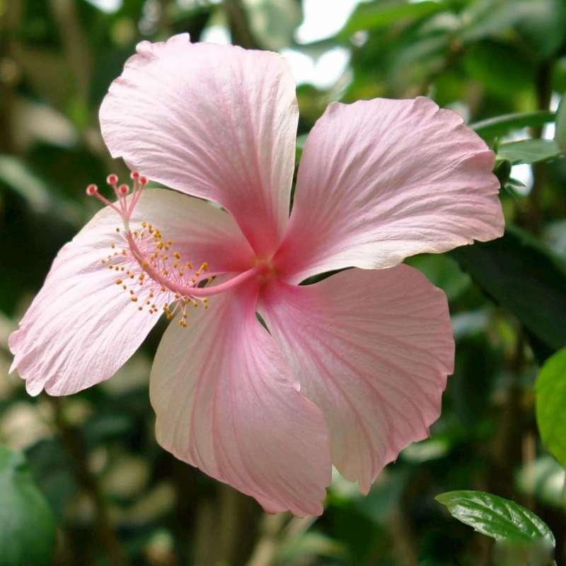 Tisane hibiscus nature